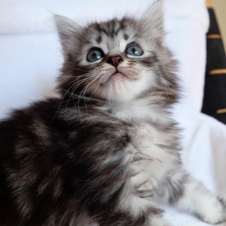Lynx LUNA MAINE COON katteri uppfödning kattungar huddinge stockholm