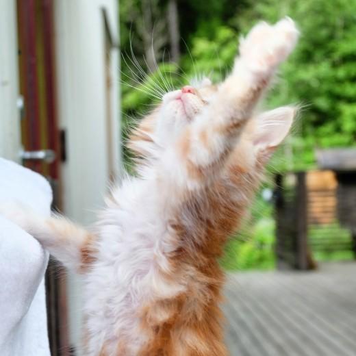 Lynx Luna Maine Coon kattungar outcross breeding uppfödare Huddinge