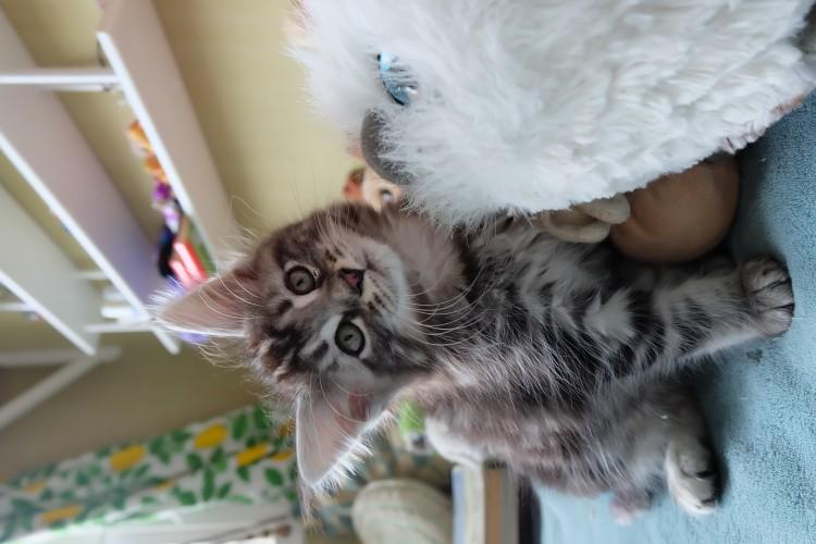 Maine Coon kattungar uppfödare Huddinge kittens outcross breeder