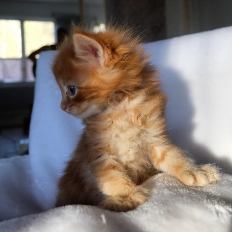Lynx Luna Maine Coon kittens kattungar uppfödare breeders Huddinge Stockholm