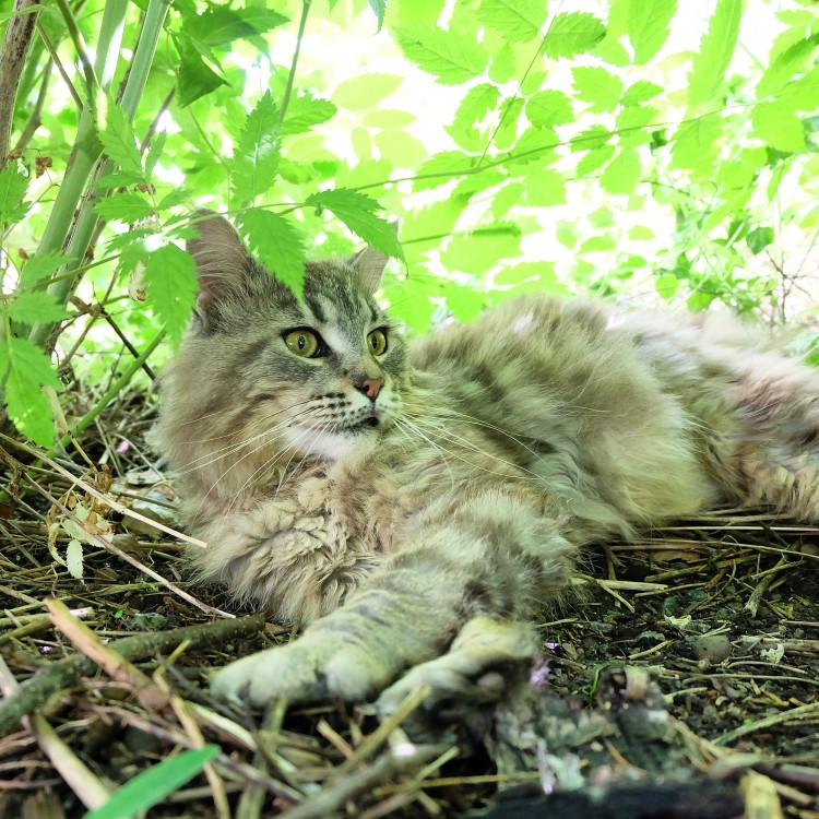Maine Coon uppfödare Stockholm Huddinge kattungar outcross foundation breeder
