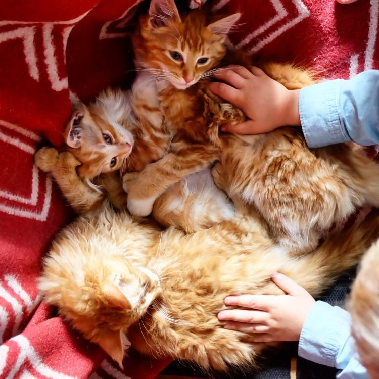Lynx Luna Maine Coon katteri kattungar uppfödare Huddinge breeder outcrossbreeder new