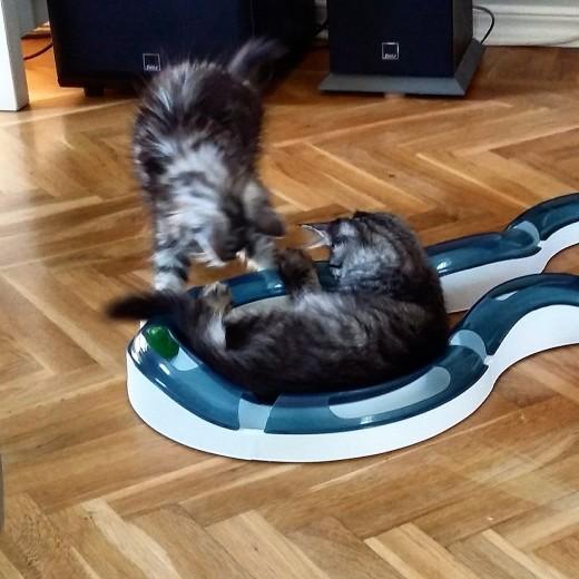 Maine Coon kattungar uppfödare Stockholm Huddinge