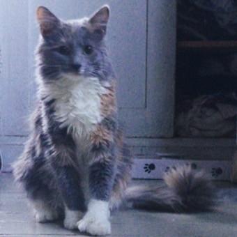Lynx Luna Maine Coon uppfödning katteri Stockholm Huddinge outcross