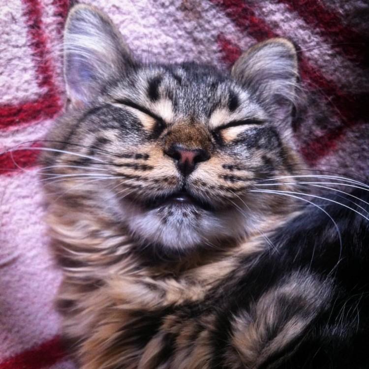 Lynx Luna Silver Springs kattunge Maine Coon uppfödare Huddinge Stockholm