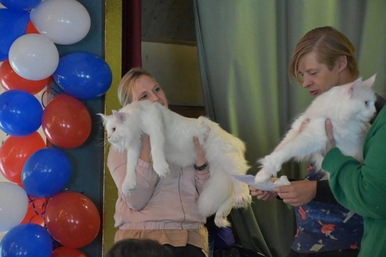 Lynx Luna katteri Maine Coon kattutställning uppfödare Stockholm