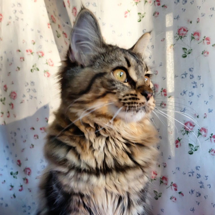 Lynx Luna Maine Coon kattutställning uppfödare Stockholm
