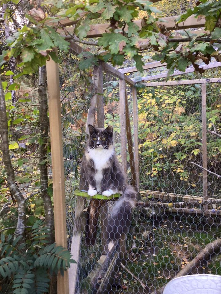 lynx luna katteri kattuppfödning maine coon kattungar stockholm