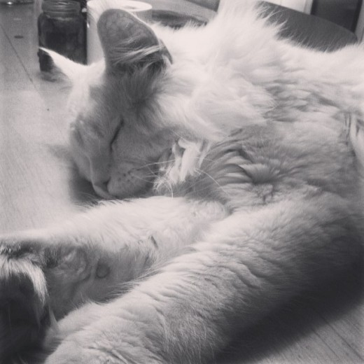 Lynx Luna Maine Coon katter uppfödning kattungar Huddinge Stockholm