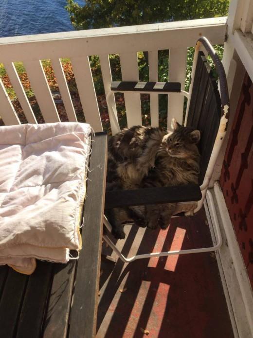Lynx Luna Maine Coon katteri Stockholm HUddinge kattungar