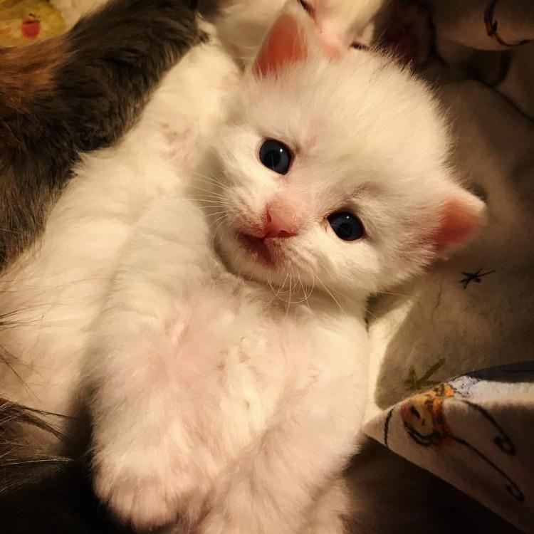 Lynx Luna Maine Coon katteri kattungar upptöade Stockholm Huddinge