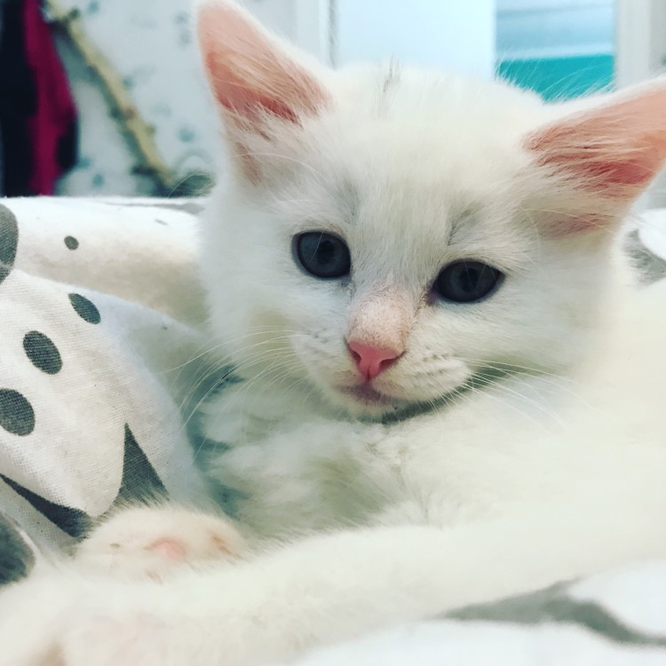 Lynx Luna Maine Coon kattunge kitten Stockholm Sweden outcross