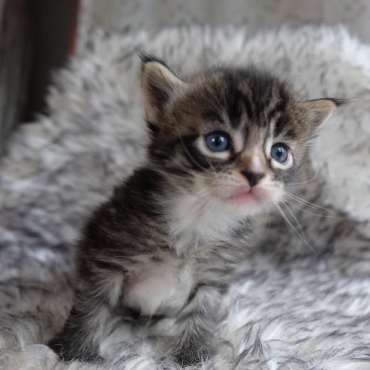 Lynx Luna Maine Coon kattungar