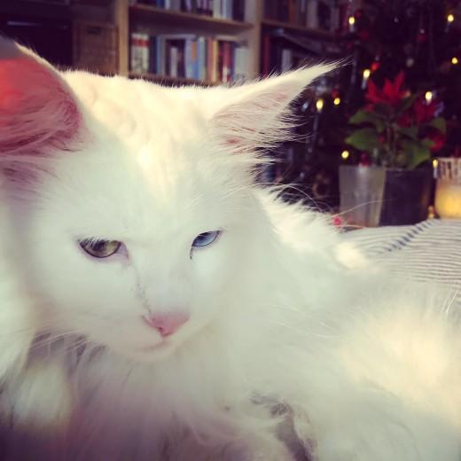 Lynx Luna Maine Coon kattungar uppfödare Stockholm