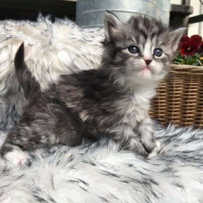 Lynx Luna Maine Coon uppfödning