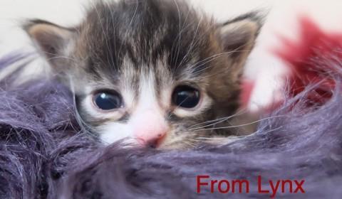 MAine Coon Lynx Luna