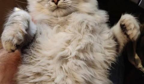 Lynx Luna Maine Coon kattungar silvertabby bruntabby