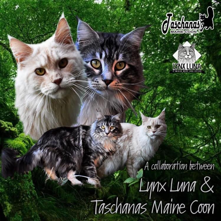 Lynx Luna Maine Coon