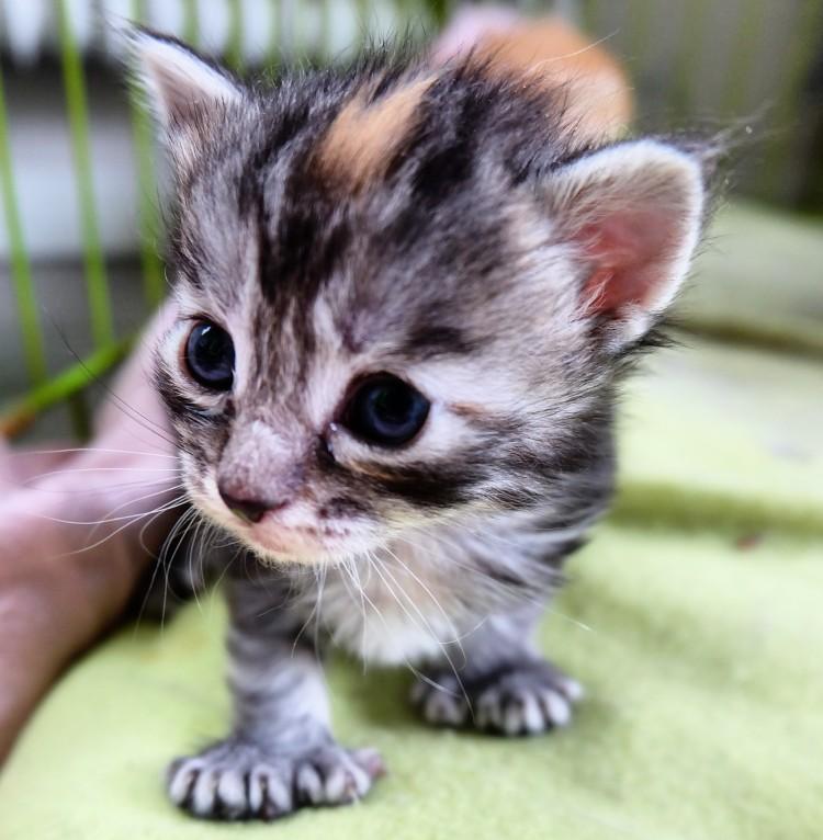 Maine Coon uppfödare kattungar