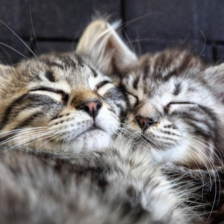 SilverLining litter kittens Maine Coon uppfödare Stockholm
