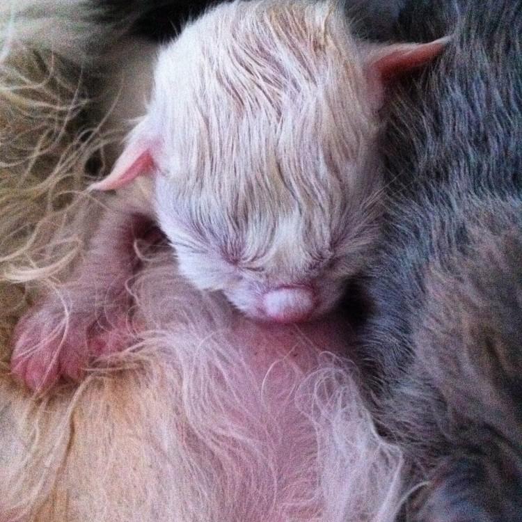 Lynx Luna katteri Maine Coon uppfödning Stockholm huddinge