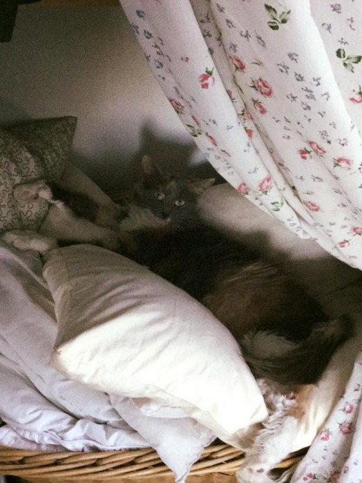 Lynx Luna katteri Maine Coon katter Huddinge uppfödare kattungar