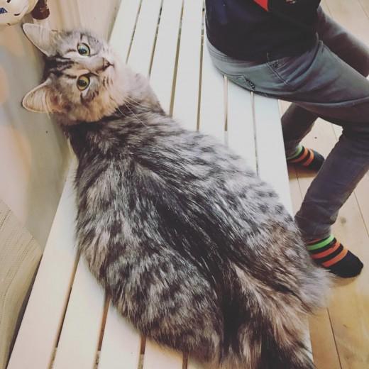 Lynx Luna Maine Coon katteri uppfödare Stockholm