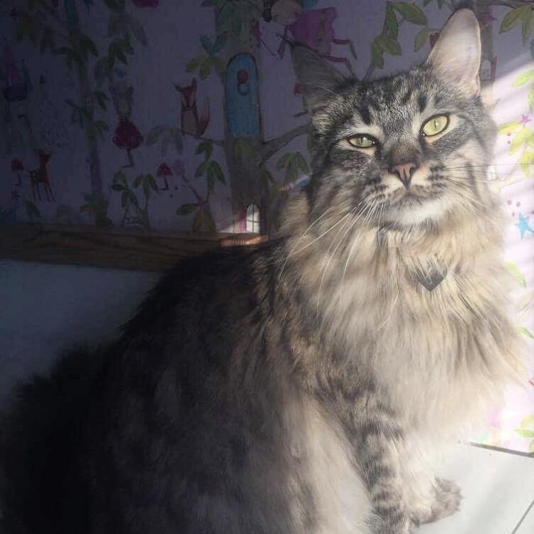 Lynx Luna Maine Coon katteri