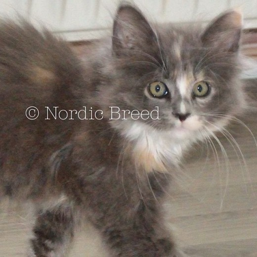 Nordic Breed Freja of Lynx Luna Maine Coon katteri uppfödare Stockholm