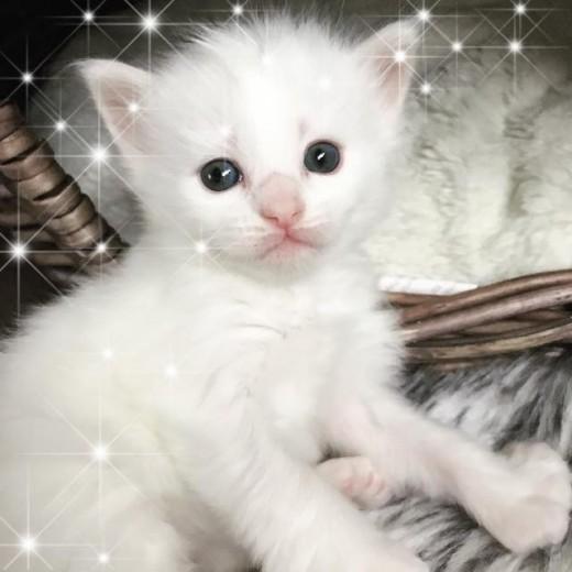 Lynx Luna Maine Coon kattunge