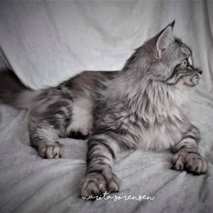 Lynx Luna Maine Coon kattungar hösten 2020 uppfödare planer ny kull