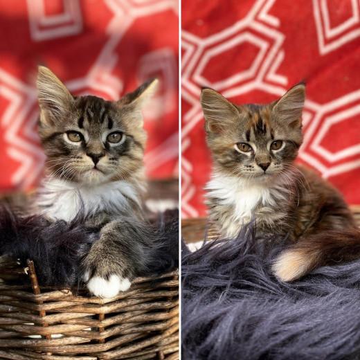 Lynx Luna Maine Coon kittens